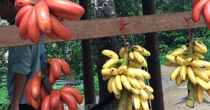 Red Banana of Cambodia